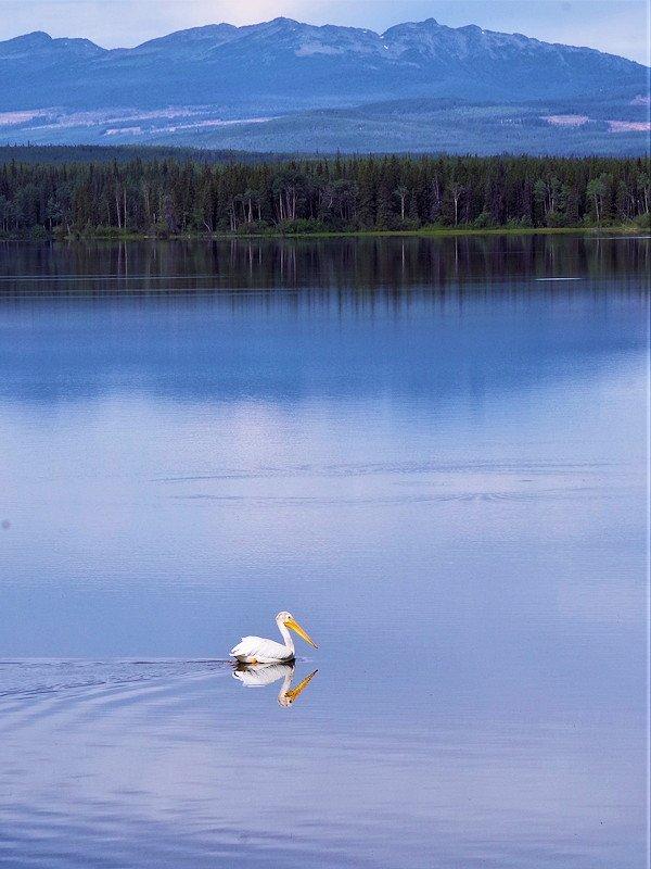 white pelican on Anahim Lake