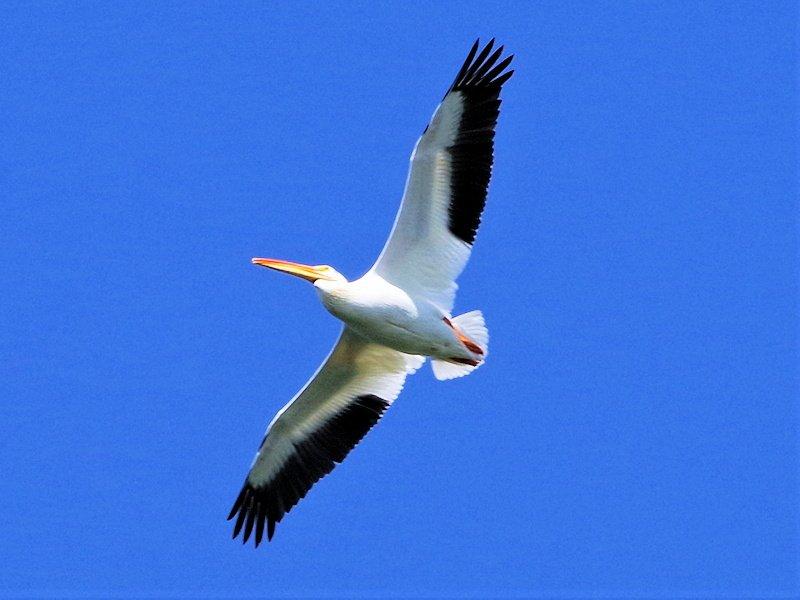 White Pelican at Anahim Lake
